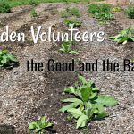 Volunteers in the Garden, the Good and the Bad